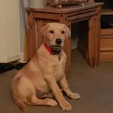 Milo (Labrador Retriever)