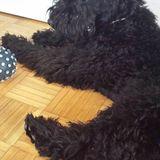 Kira (Kerry Blue Terrier)