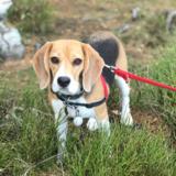 Gulab (Beagle)