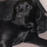 Gabbana (Labrador Retriever)