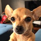 Teresa (Chihuahua)