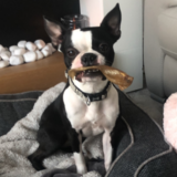 Halley (Boston Terrier)
