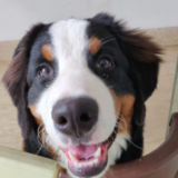 Bernie (Bernese Mountain Dog)