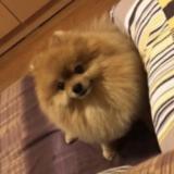 Kenzel (Pomeranian)