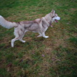 Luna (Siberian Husky)