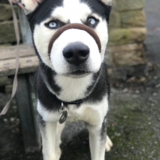 Loki (Siberian Husky)