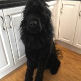 Murphy (Russkiy Tchiorny Terrier)
