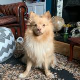 Noah (Pomeranian)