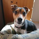 Ferris (Jack Russell Terrier)