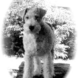 Foxtrot'h (Fox Terrier)