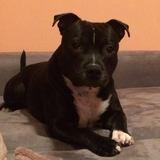 Leo (Staffordshire Bull Terrier)