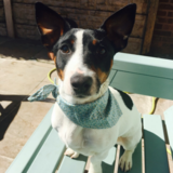 Dotty (Jack Russell Terrier)