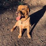 Weasley (Labrador Retriever)