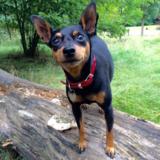Monty (Miniature Pinscher)