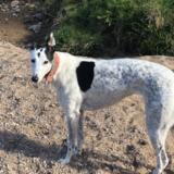 Poppy (Greyhound)