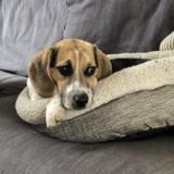 Bessie - Beagle