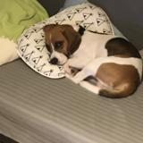 Waffle (Beagle)
