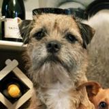 Maisie (Border Terrier)