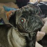 Pepper - Pug