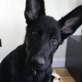 Zee (German Shepherd Dog)