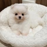 Mochii (Pomeranian)