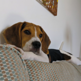 Cobe (Beagle)