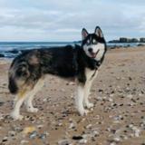 Jax (Siberian Husky)