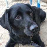 Ruby (Labrador Retriever)