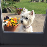 Tia (West Highland White Terrier)