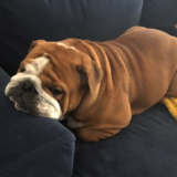 Luna (English Bulldog)