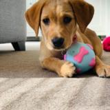 Molly (Labrador Retriever)