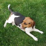 Nina (Beagle)