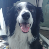 Johnny (Border Collie)