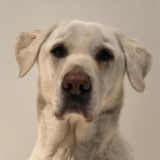 Phoebe (Labrador Retriever)