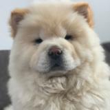 Leo (Chow Chow)