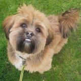 Rufus (Lhasa Apso)