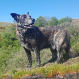 Ruffy (German Shepherd Dog)