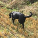 Cooper (Labrador Retriever)