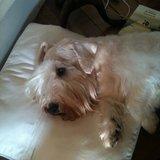 Robin Wood (Sealyham Terrier)