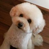 Kito (Toy Poodle)