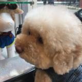 Kiki (Toy Poodle)