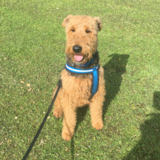 Boycie (Airedale Terrier)