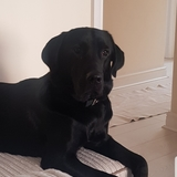 Buddy - Labrador Retriever