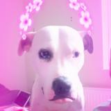 Amelia (American bulldog)