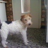 Axe (Fox Terrier)