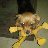 Xhana - Yorkshire Terrier