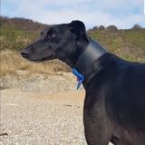 Alfie (Greyhound)