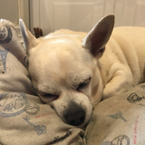 Otto (Chihuahua)