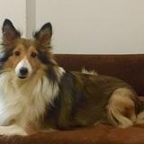 Patxi  (Perro Pastor De Shetland)