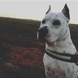Chuki (Dogo Argentino)